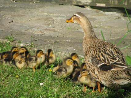 Eine süße Entenfamilie